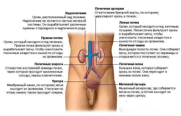 Расположение b органов /b